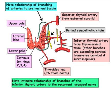 thyroid 2