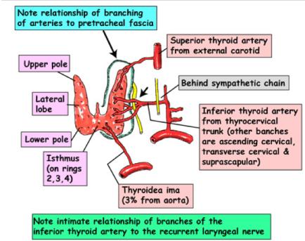 thyroid 2